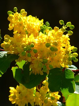 Mahogany, Ordinary Mahogany, Close, Mahonia Aquifolium
