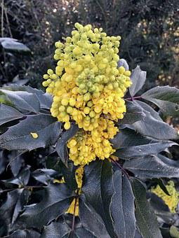 Mahonia, Mahogany, Blossom, Bloom, Yellow, Flower