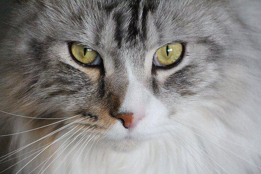 Cat, Main Coon, Maine Coon Cat, Maine Coon, Cat Face