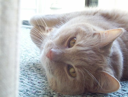 Cat, Lying, Pet, Animal, Mammal, Furry, Domestic, Wild
