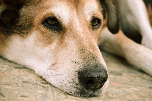 Dog, Animal, Pet, Sad, Eyes, Lying Down