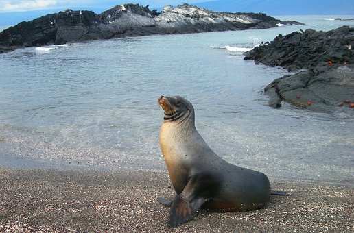 Sea, Lion, Seal, Ecuador, Island, Pacific, Ocean