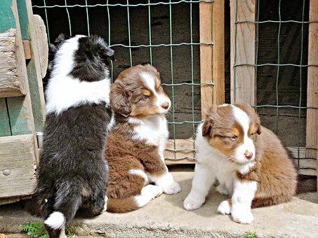 Dogs, Australia Shepards, Three Puppies
