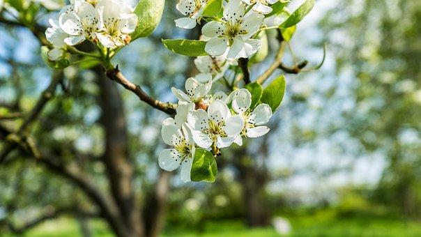 Flowers, Tree, Apple, Pear Tree, Spring, Lemon, Nature