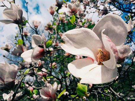 Flower, Magnolia, Bloom, Spring, Tree, Branch, Sun, Sky