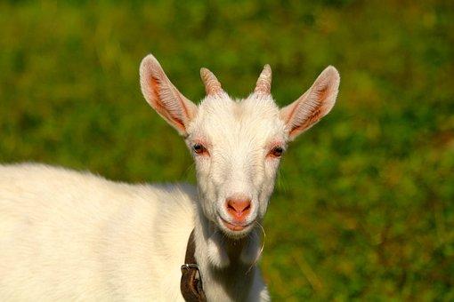 Goat, Farm Animals, Corners, Animal, Horned