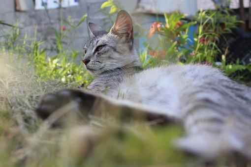 Gata, Feline, Cat, Animals, Pet, Kitten, Safari, Tiger
