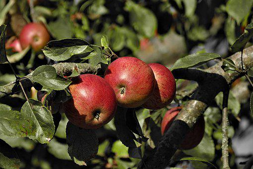 Apple, Red, Ripe, Fruit, Food, Delicious