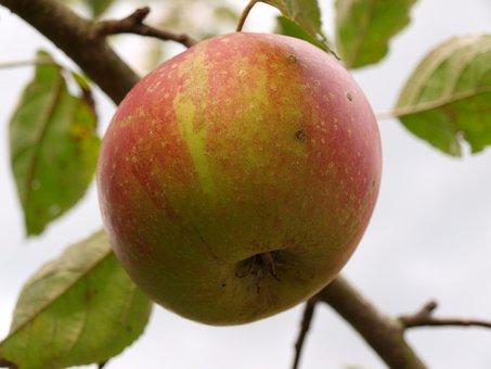 Apple, Tree, Fruit, Autumn, Apple Tree, Healthy, Ripe