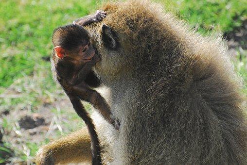 Baboon, Baby, Motherhood, Mother, Monkey, Primate