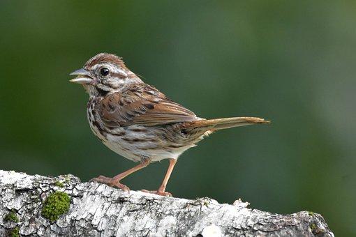 Bird, Song Sparrow, Bokeh, Perched On Birch Log
