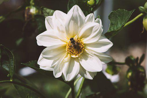 Flower, Blossom, Bloom, Nature, Garden, Dahlia, Bloom