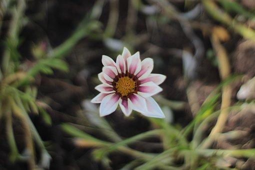 Daisy, Flower, Bloom, Herbs, Flowers, Flora, Meadow