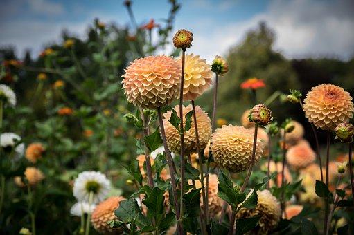 Dahlias, Flower, Bloom, Blossom, Bloom, Plant, Flora
