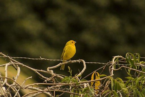 Birds, Canary, Nature, Bird, Yellow, Animal, Beautiful