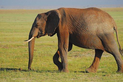 Elephant, Earth Hour, Wilderness, Pachyderm