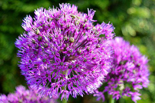 Flower, Ball Leek, Blossom, Bloom, Ornamental Onion