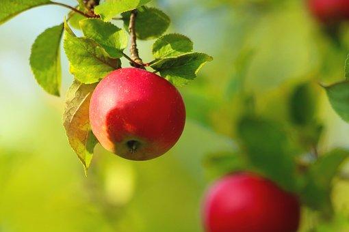 Apple, Red, Fruit, Vitamins, Foodstuffs, Harvest