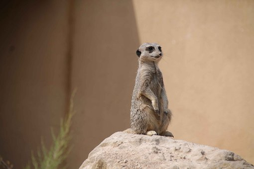 Meerkat, Zoo Animal, Watching, Cute, Funny, Attention