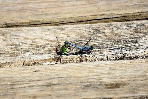 Dragonflies Mating, Large, Closeup, Green, Blue