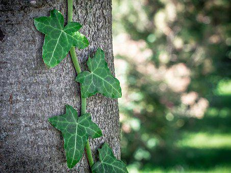 Ivy, Tree, Nature, Bark, Log, Plant, Forest, Green
