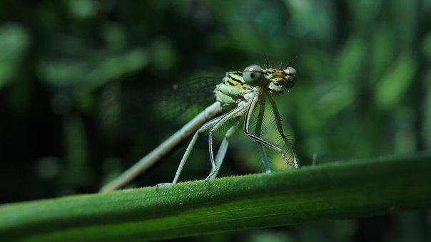 White Feather Dragonfly, Dragonfly, Nature