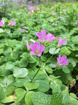 Oxalis Corniculata, Flower, Leaf, Oxalis
