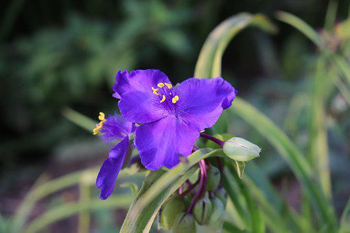 Tradescantia, Flowers, Perennial Plants, Plants, Garden
