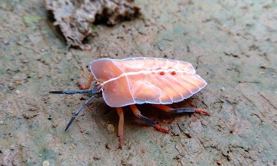 Insect, Khmer, Baby, Young, Nature, Pink, Kimseng