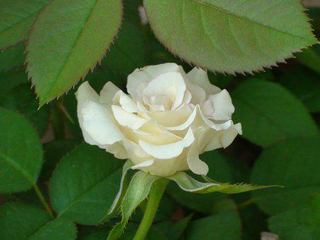 Rose, White, Plant, Flower, Bloom, Wedding, Nature