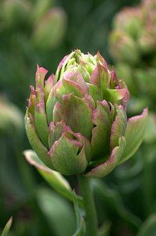 Tulip, Green, Pink, Spring, Flowers, Tulips, Flower