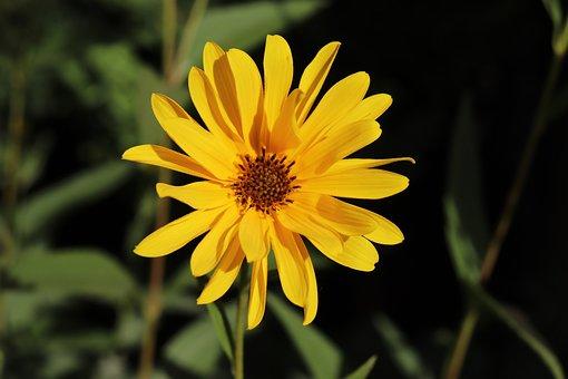 Hélianthus, Sun, Flowers, The Colour Yellow, Summer
