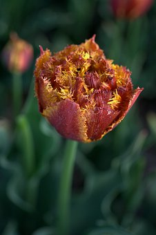 Tulip, Red, Yellow, The Cartels, Fringe, Spring, Tulips