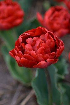 Tulip, Red, Double, Spring, Tulips, Flowers, Garden
