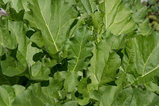 Salad, Green, Lettuce Leaves, Garden, Vegetable Garden