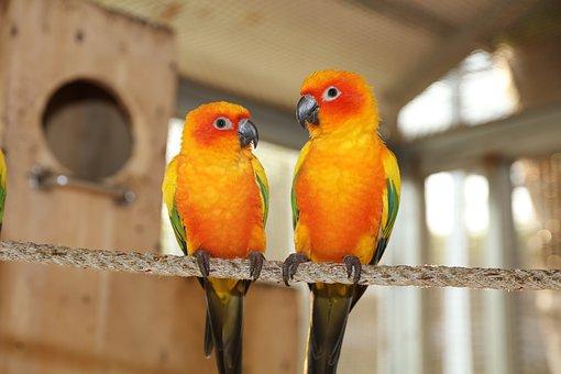 Yellow Green Parakeet, Rare Parakeet