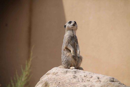 Meerkat, Zoo Animal, Watching, Mammal, Zoo, Africa