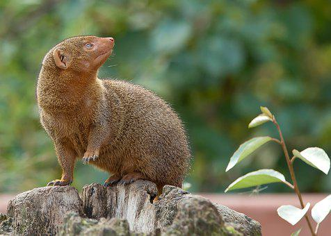 Zwergmanguste, Mongoose, Gophers, Africa, Animal