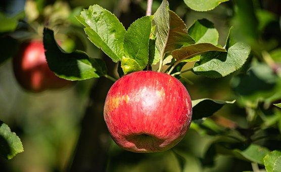 Apple Tree, Apple, Fruit, Healthy, Red Pome Fruit
