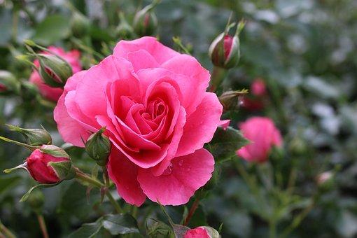 Flowers, Rose, Roses, Nature, Beauty, Flower, Bush