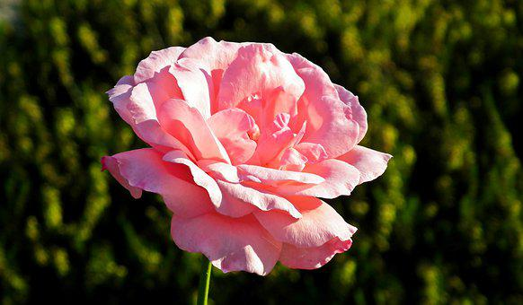 Rose, Flower, Pink, Beauty, Love, Garden, The Smell Of