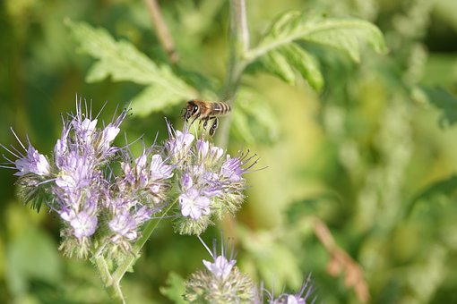 Bee, Phacelia, Flower, Bees, Bug, Blossom, Summer