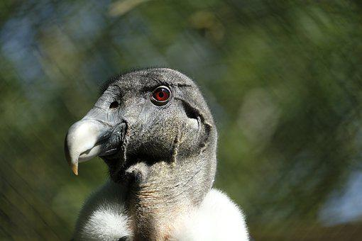 Vulture, Griffon Vulture, Old World Vulture, Bird