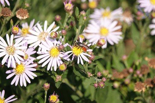 Bloedbij, Bee, Flower, Flowers, Bees, Summer, Nature