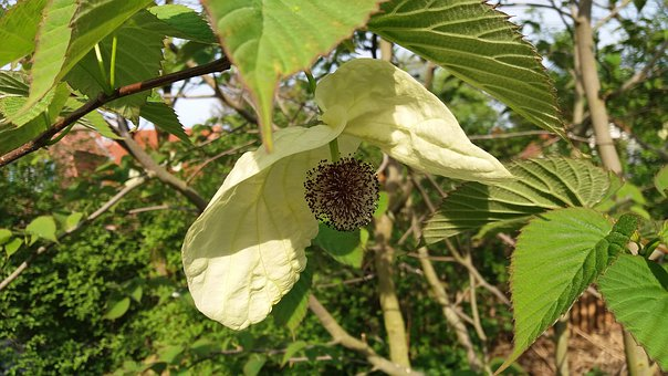 Blossom, Bloom, Handkerchief Tree, Dove Tree