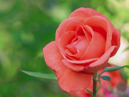 Flower, Red, Pink, Bloom, Garden, Love, Roses, Poppy