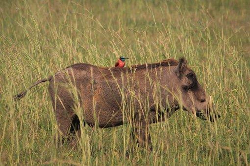 Warthog, Bee-eater, Bird, Watching, Northern, Carmine