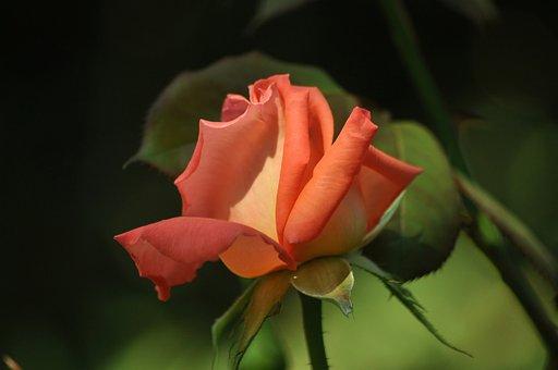 Rose, Pink, Petals, Bud, Leaves, Flower, Love
