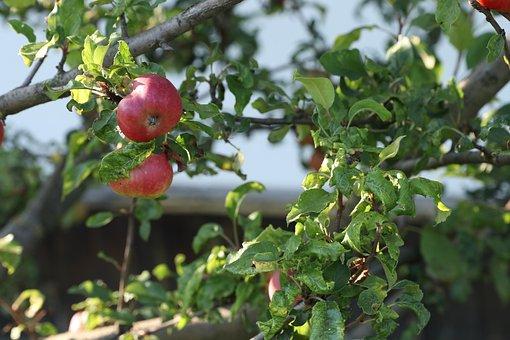 Apple Tree, Fruit, Tree, Garden, Summer, Red Apple