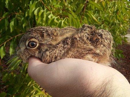 Hare, Greyhound, Little Hare, Baby, Rabbit, Gazapo
